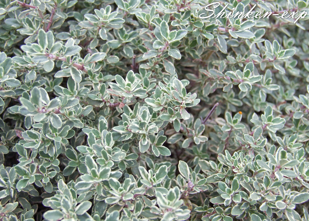 Silver-thyme